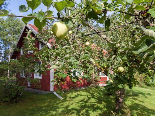 "Schweden - Smaland: Ferienhaus Am See - Haus ""Katthult"" - Blick Am Apfelbaum Zum Ferienhaus"