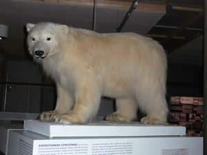 Schweden - Smaland: Gränna Polarmusum - Eisbär ausgestopft