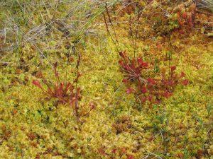 Smaland (Schweden): Nationalparkt Store Mosse - Pflanzenvielfalt