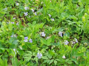Schweden-Smaland: Värnamo - Pflanzenvielfalt imRusarebo Äng