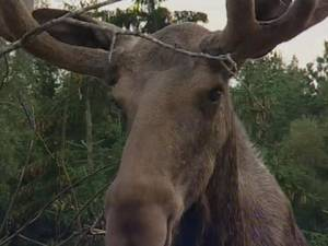 Titelbild zum Video Elch-Safari in Smaland Schweden